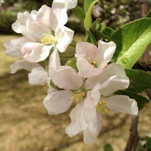 apple-blossoms_2013_05_17