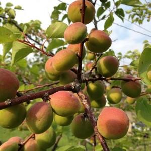 apricots_2013_07_18