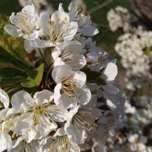 plum-blossoms_2013_05_14