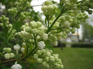 white-lilacs_2006_05_17